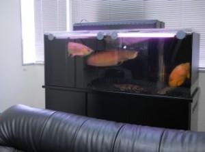 優雅な古代魚水槽を設置しました